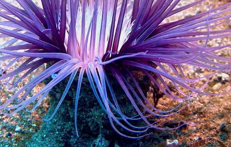 ムラサキハナギンチャク|海の生物図鑑
