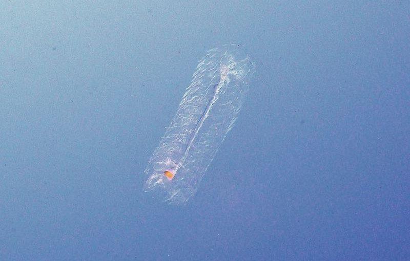 モモイロサルパ|海の生物図鑑