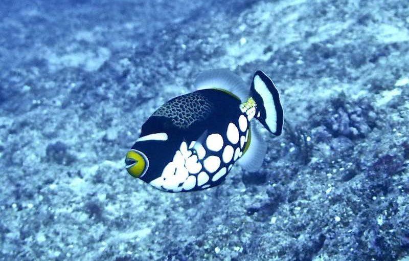 モンガラカワハギ|お魚図鑑