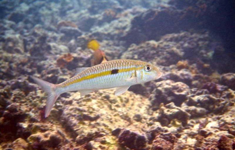 モンツキアカヒメジ|お魚図鑑