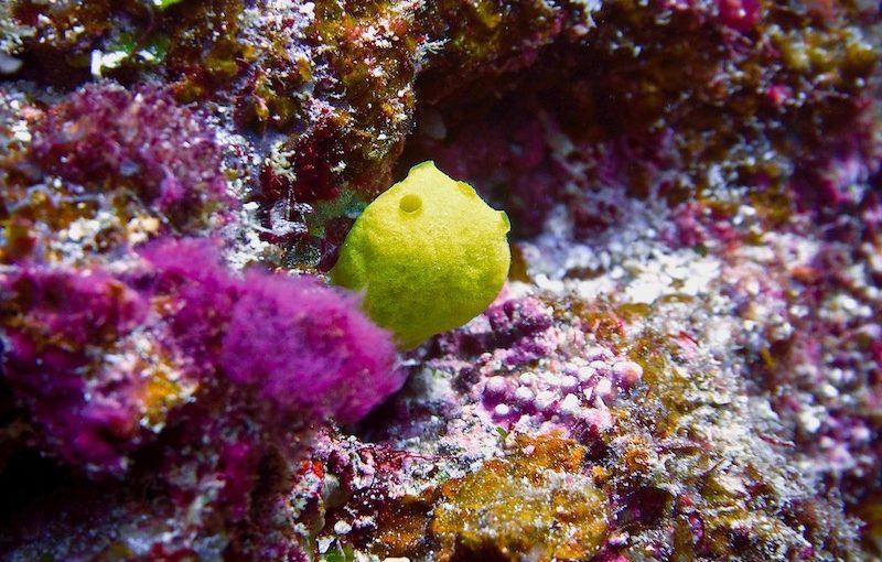 レモンスポンジ|海の生物図鑑