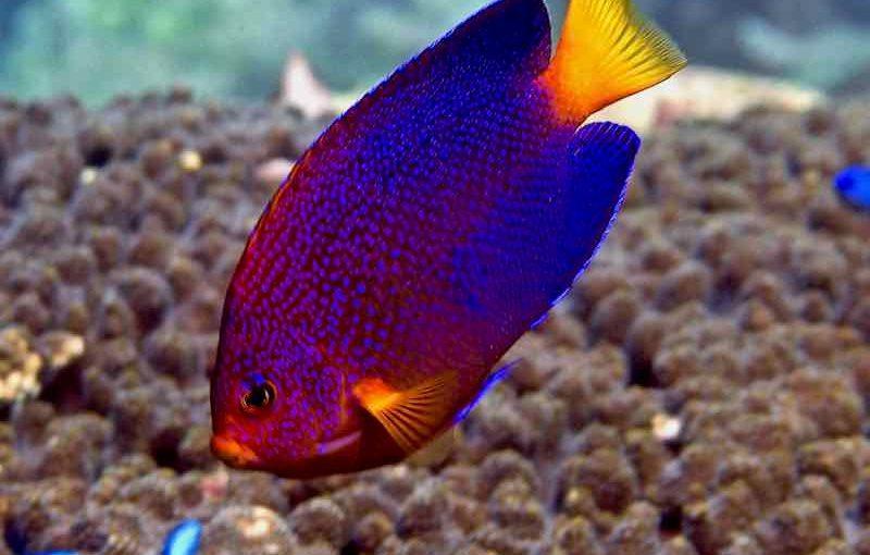 レンテンヤッコ|お魚図鑑