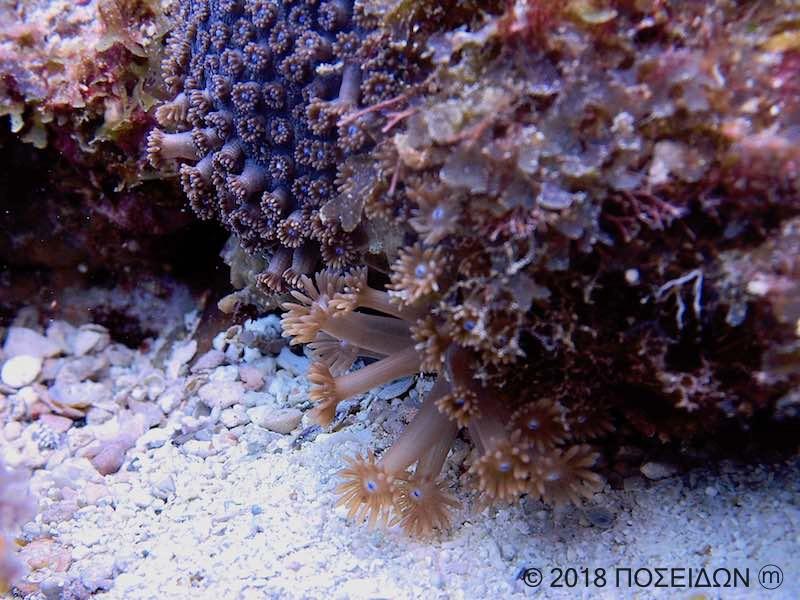 (手前)キクメハナガササンゴ|(奥)マルアナハナガササンゴ