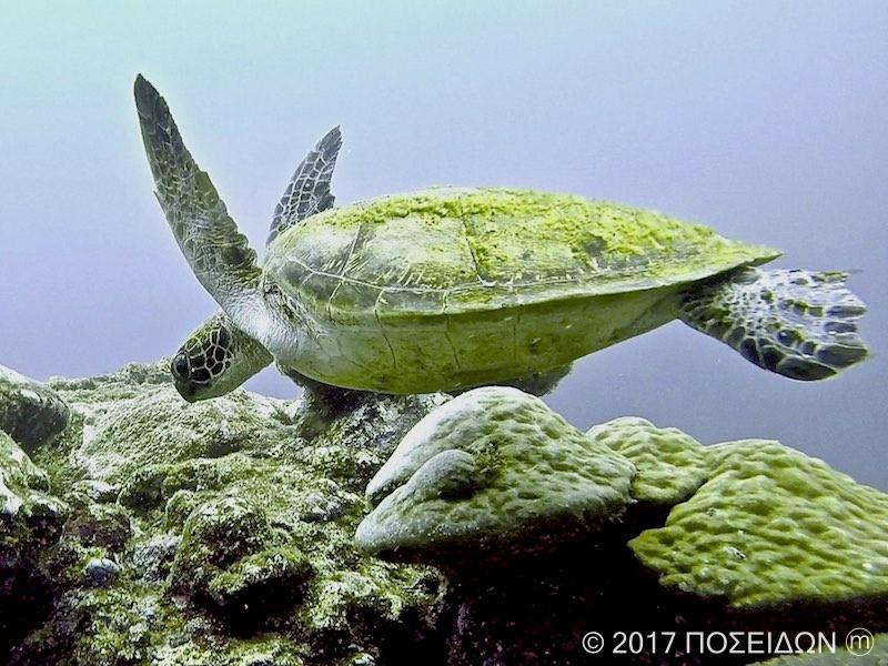 アオウミガメ|海の生物図鑑