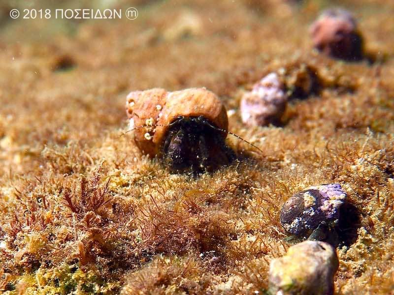 ホンヤドカリ|海の生物図鑑
