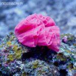 ミカドウミウシ(卵塊)・ピンク/俗称:ウミリボン
