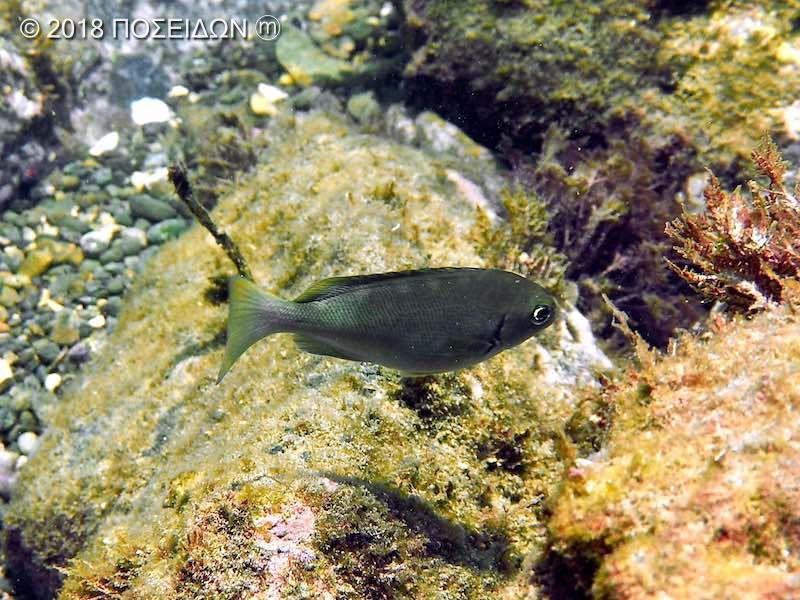 クロメジナ|お魚図鑑