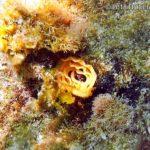 クロシタナシウミウシ(卵塊)