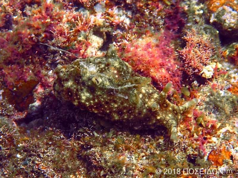 ジャノメアメフラシ|海の生物図鑑