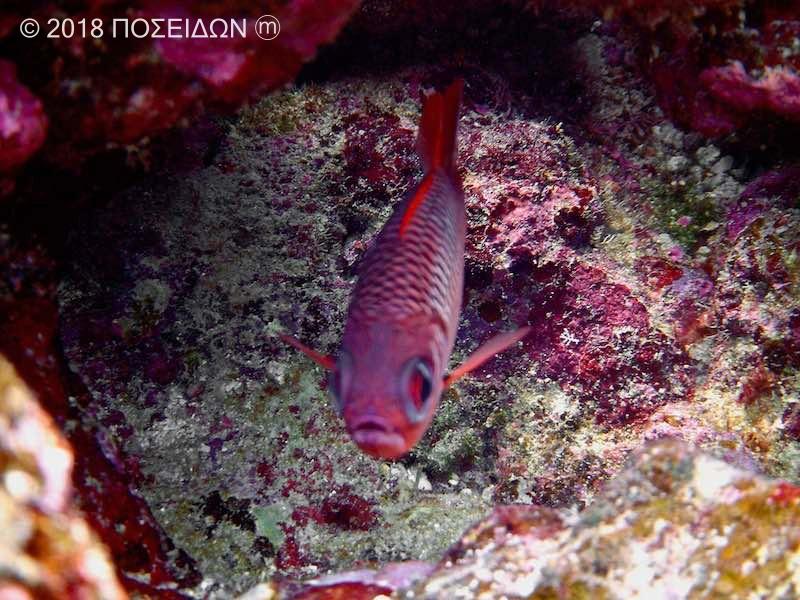 ヨゴレマツカサ|お魚図鑑